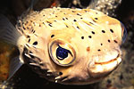 Spiny Pufferfish