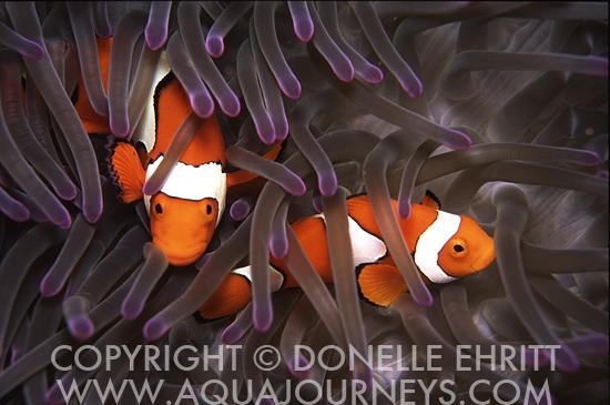 Percula clowns in anemone