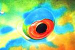 Parrot fish eye