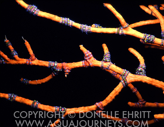 Brittle Stars on Coral