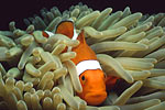 Percula clown in anemone