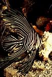 Batavia Spadefish