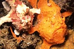 Warty frog fish