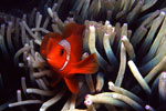 Maroon Clown in Anemone