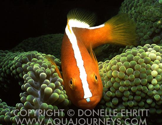 Skunk Clownfish in Anemone