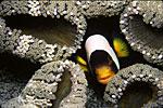 Sebae Clown in Anemones