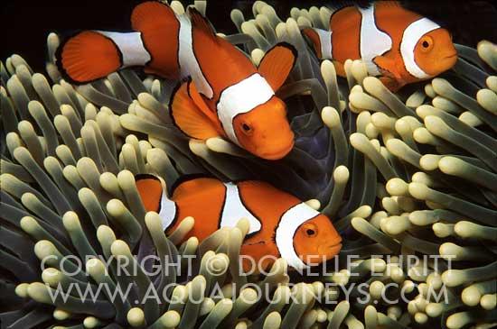 Percula Clownfish in Anemone