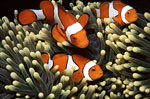 Percula Clownfish in Anemone