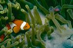 Percula clown and shrimp