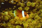 Percula clown in anemone